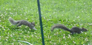 _DSC0082-1squirrelChaseW[1]